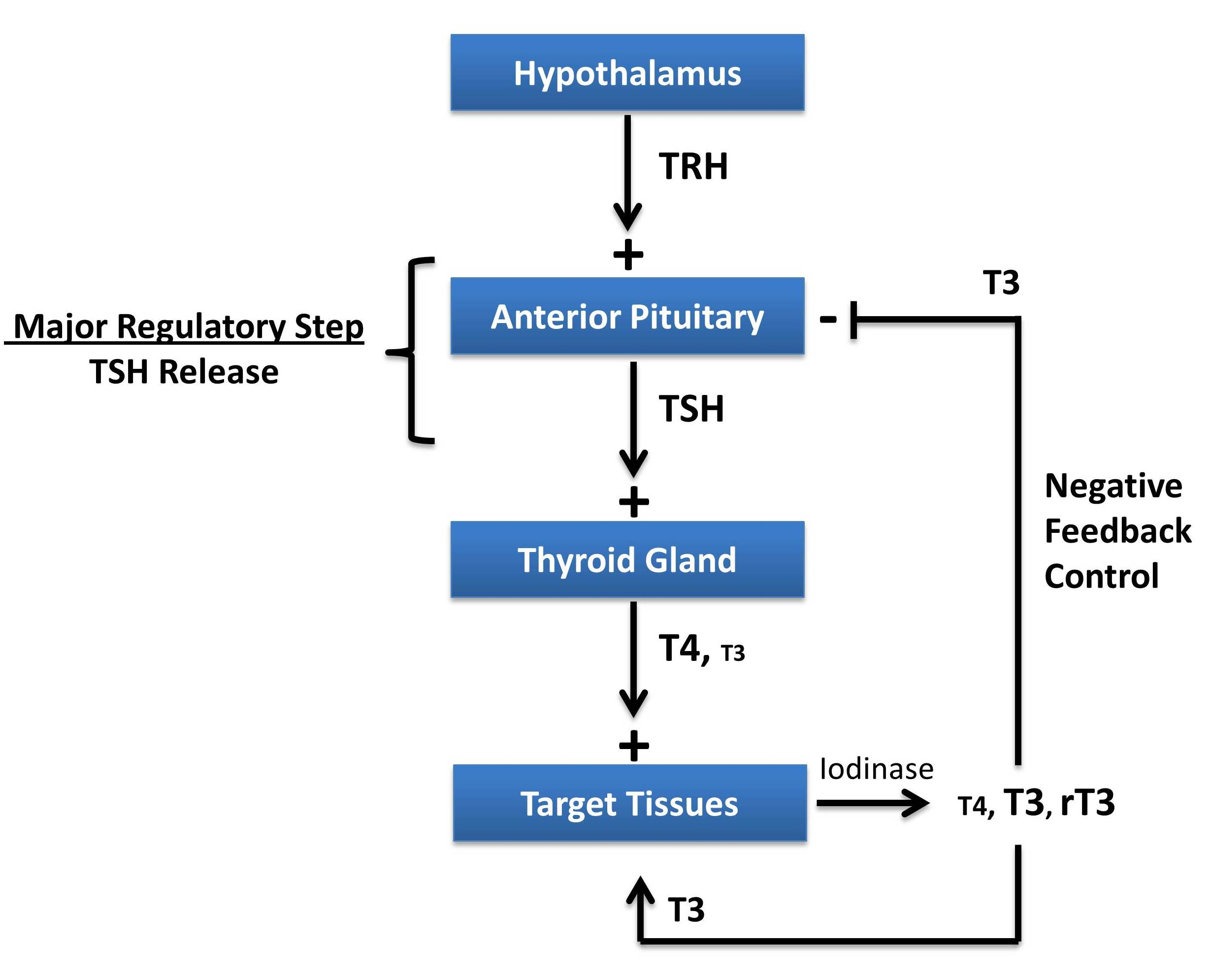 Thyroid Hormone Regulation Pathway Medicine